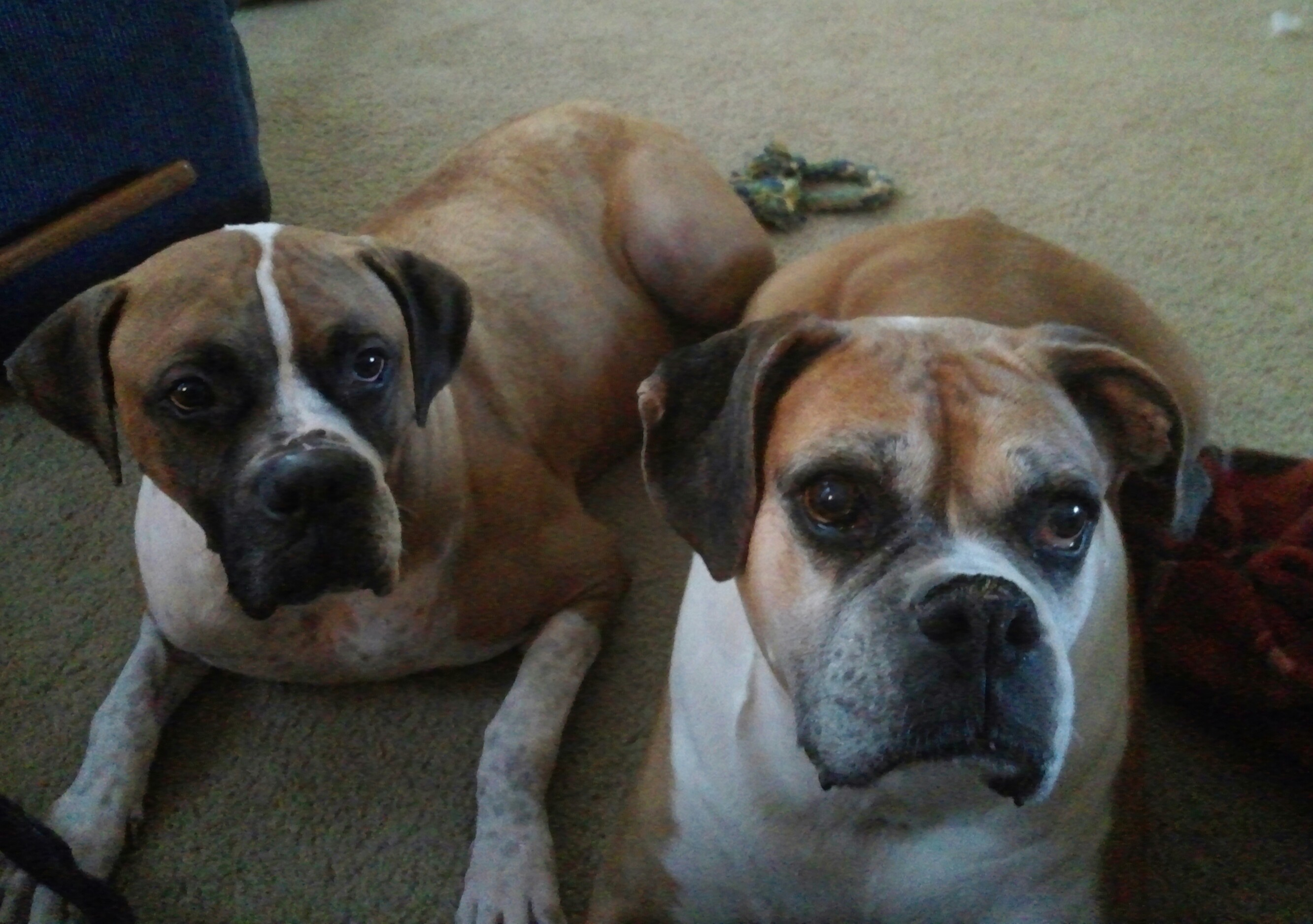 Boxer Dogs Better Than One